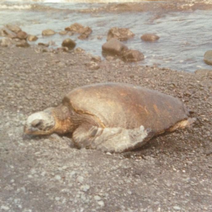Punnaluu Turtle Hawaii